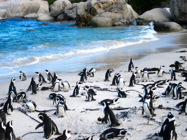 Boulder - penguins on the beach